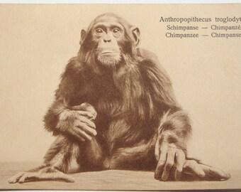 c.1907 Chimpanzee Real Photo SEPIA Post Card Stunning ~ Postally Unused, Holland, Near Mint Condition.