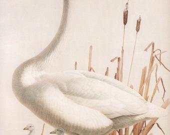 JF Lansdowne Print Book Plate Art, Trumpeter Swan