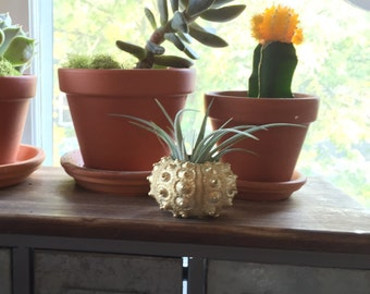 gold sea urchin shell with live air plant inside