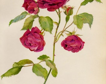 Beautiful Antique Red Rose Flower Print Cottage Decor Shabby Chic Botanical Flower Illustration Gallery Wall Art  1362