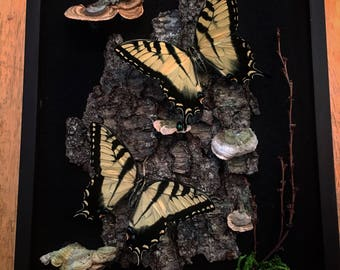 REAL Tiger swallowtail butterfly in a shadow box