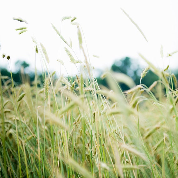 Spring Grasses, Soft Green Art,Nature, Landscape, Art, Photography, Fine Art Print, Summer Light, Sunshine