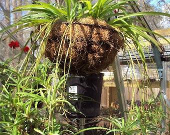 Spider Plant Baby Live House Plant BOGO Sale, Clean Air Plant
