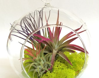 Air Plant Fun Pack Hanging Terrarium Clear Glass Kit with Moss
