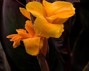 Iris, Orange