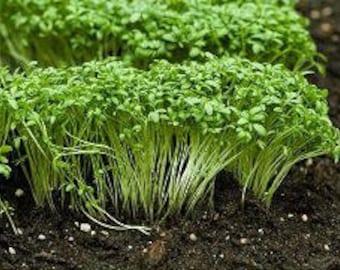 1 oz Garden CRESS seeds
