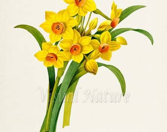 Daffodil Flower Art Print, Botanical Art Print, Flower Wall Art, Flower Print, Floral Print, yellow, green