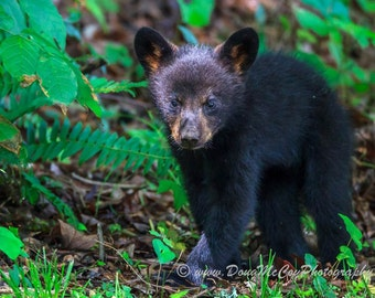 Black Bear Cub in Great Smoky Mountains. #3462