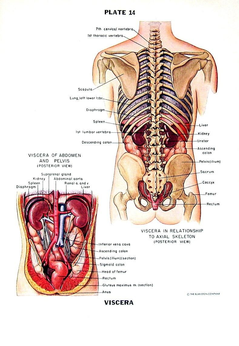 Groß Seiten Definition Anatomie Galerie - Menschliche Anatomie ...