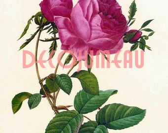 Rose Digital Download  Image Redoute'
