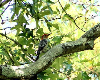 The Red-Bellied Woodpecker