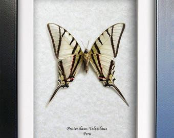 Kite Swallowtail Protesilaus Telesilaus Real Butterfly Entomology Collectible In Shadowbox