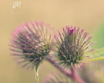 Artistic photograph of a flower, thistle, summer, pink and green, thorns, nature, bokeh, rustic, insular