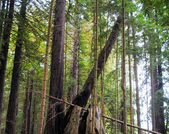Small Redwood Forest, Humboldt County, California