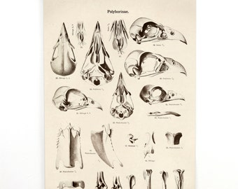 Pull Down Chart - Vintage German Bird of Prey Skull Diagram Canvas Reproduction. Educational Falcon Anotomy Birds Science Poster 251CV