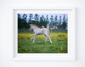 Baby Icelandic horse print - Foal photograph - Ranch photos - Nursery wall art - Pony photo print - Framed fine art - Baby shower gift