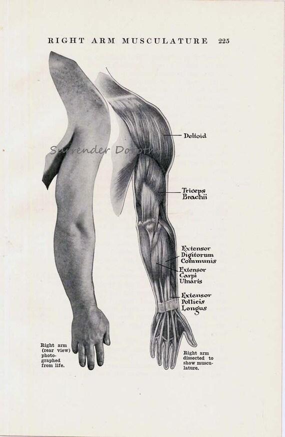 Arm Hand Muskeln hinteren Muskulatur menschliche Anatomie