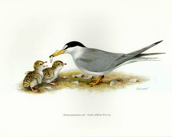 Vintage lithograph of the little tern from 1956