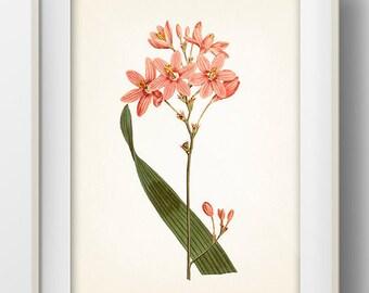 Pink Flowers #1 - FL-15 - Fine art print of a vintage natural history antique botanical illustration