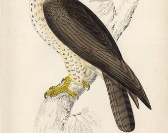 antique print common Buzzard 1860