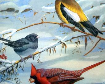 Vintage BIRDS Print - Cardinal Grosbeak and Junco  - 1930s Book Illustration by Walter Alois Weber