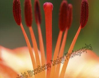 Image numérique orange Close-up Lilly Télécharger Stock Photography - Licence numérique inclus