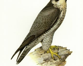 Vintage lithograph of the peregrine falcon or duck hawk from 1956