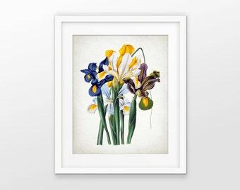 Iris Flower Art Print - Iris Plant Decor - Antique Irises - Yellow - White - Blue - Botanical Print - Single Print #1590 - INSTANT DOWNLOAD