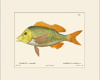 Vintage Fish Print #158, Art Print with Mat, Note Card, Natural History Illustration, Costal Art, Nautical Art, Sea Life, Wall Decor