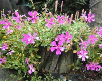10 Silene elizabethae Seeds, Alpine Plant Seeds