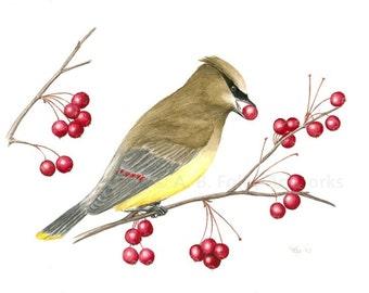Original Bird Illustration of Cedar Waxwing, Yellow Bird in Tree Eating Red Berries, Gouache Bird Art 8X10