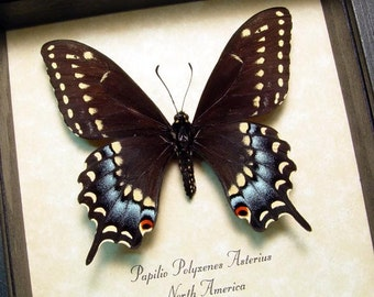 Real Framed Female Papilio Polyxenes Asterius Eastern Black Swallowtail Butterfly 8314F
