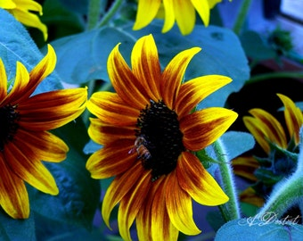 Photography Print Painted Sunflowers