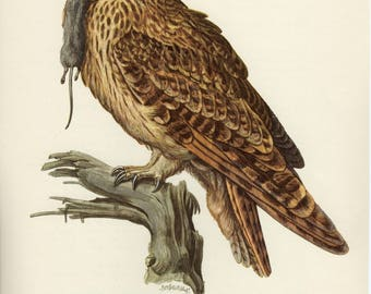Vintage lithograph of the short-eared owl from 1953