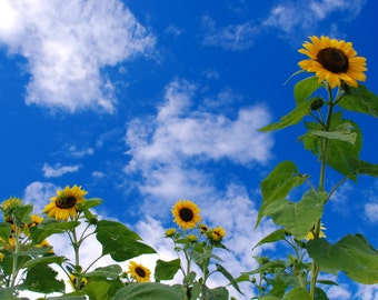 Sunflowers and Blue Skies