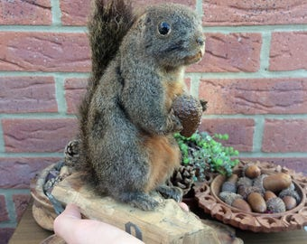 Beautifully Preserved Vintage Grey Squirrel with Fir Cone Taxidermy Wall Mount