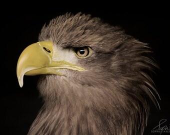 Bird photography, eagle print, nature photography, fine art photography, framed print, matted print,bird of prey, hawk photograph,hawk print