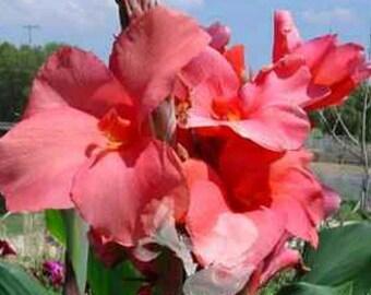 2 Canna Lily Magenta Pink Medium Canna 3-4' tall 3 rhizomes/bulbs