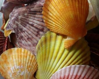 Wholesale Pack Scallop Pectin Nobilis Shells DIY Coastal Decor Weddings Art Crafts Seashells Supplies Colorful Bright Lots of 50 100 500 pcs