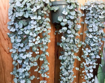 Ceropegia Woodii Plant Rosary Vine Plant Succulent Planter String Of Hearts Plant (Not Variegated) Hanging Vine Plant Succulent Vine Plant