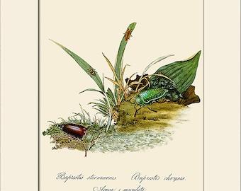 Beetles of India, Coleoptea, Edward Donovan, Art Print with Mat, Note Card, Natural History Illustration, Wall Art, Wall Decor, Insect Print