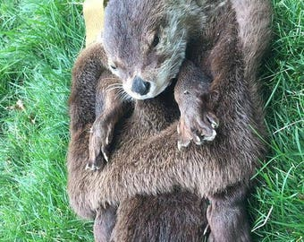 Full Mask river otter Sporran taxidermy head