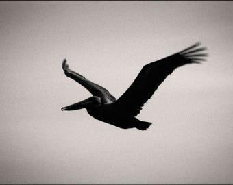 pelican pt.1, California. 2017.