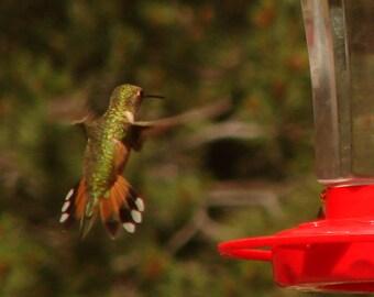 Photo - Hummingbird Print