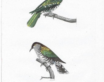 Original antique Hand Colored Natural History Print.   cuckoo Australian Indonesia birdPrint by René Primevère Very Rare