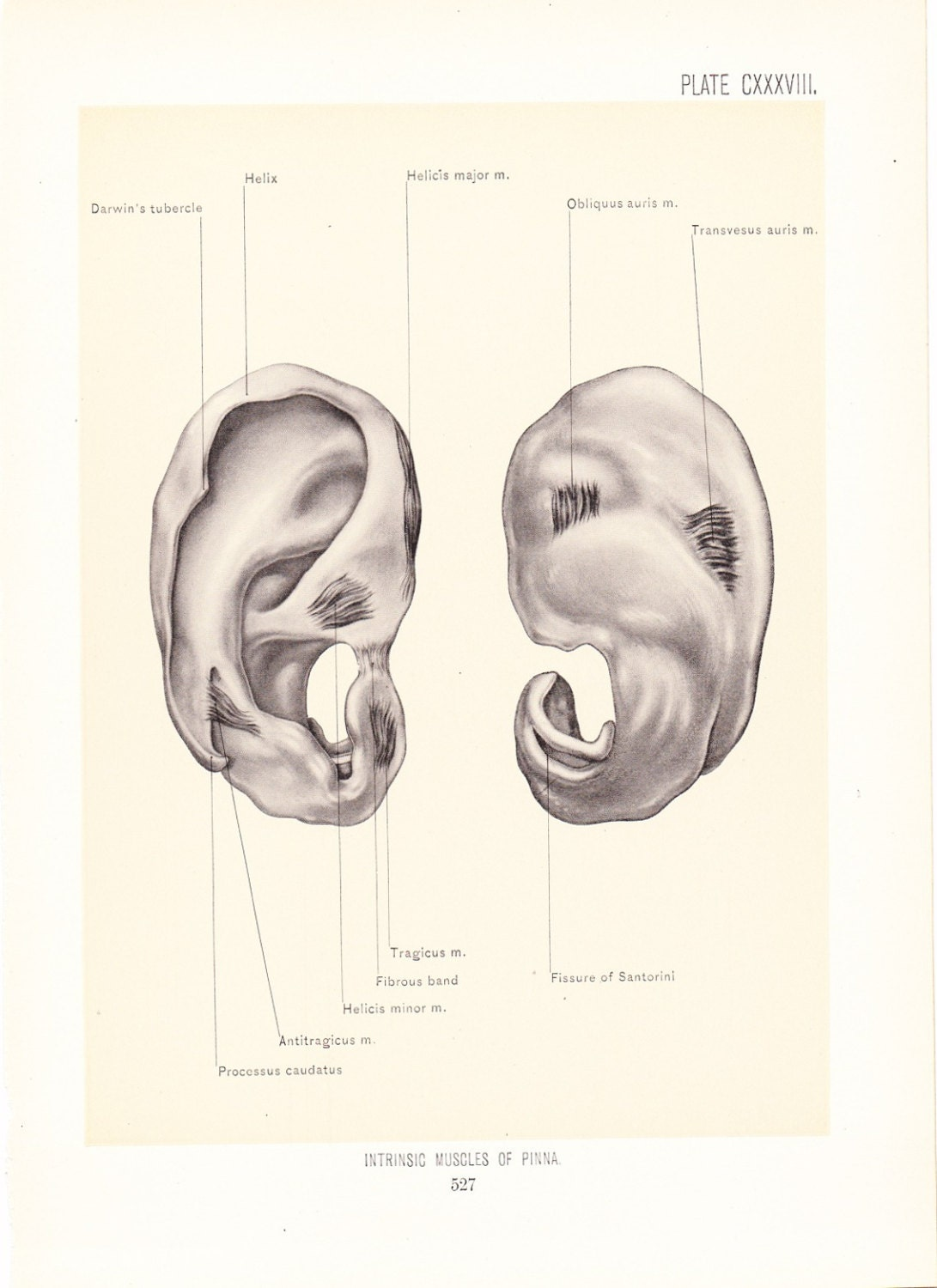 1899 Human Anatomy Print Muscles of Pinna Ear Vintage