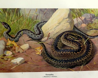 Amazing  snake engraving, 1920 antique common European viper lithograph, VINTAGE reptile print plate, Herpetology  snakes.