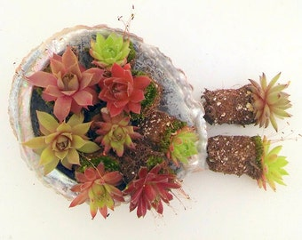 50 Succulent Chicks, Winter Hardy, A Succulent  Grab Bag Special