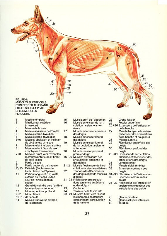 Dog Gift 1975 Anatomy Poster Vintage Dog Muscles Poster Canine