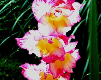 digital download, gladiola, pink flower, yard, garden, home decor